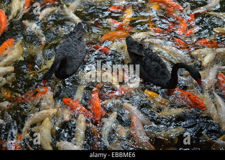 Two black swans are floating on the water over many big fishes that are splashing at the water surface. - Stock Photo
