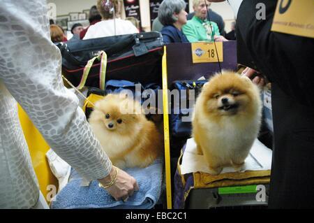 New York City Westminster Kennel Dog Show Madison Square Garden Midtown Manhattan - Stock Photo
