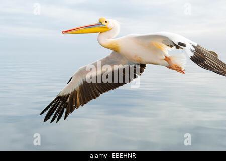 Great White Pelican (Pelecanus onocrotalus) in flight against cloudy sky, close up, Walvisbaai, Namibia. - Stock Photo