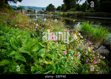 Himalayan Balsam invasive plants flowers flowering growing on the banks of the River Conwy in Llanrwst North Wales, - Stock Photo