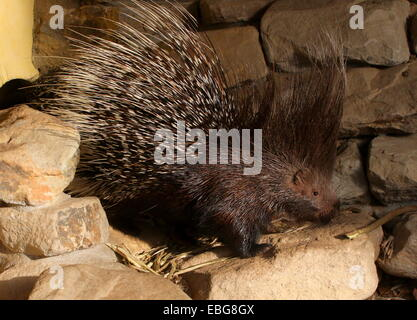 Angry Indian crested porcupine (Hystrix indica), all quills raised - Stock Photo