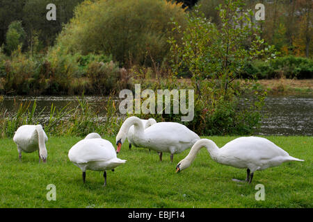 mute swan (Cygnus olor), group grazing in a meadow at the Ruhr, Germany, North Rhine-Westphalia - Stock Photo