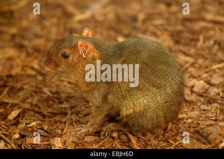 Red acouchi (Myoprocta acouchy), sitting on bark mulch - Stock Photo