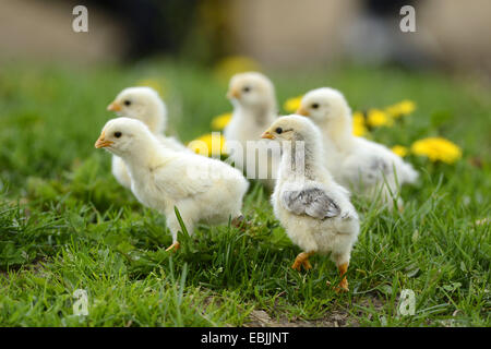 domestic fowl (Gallus gallus f. domestica), one week old chickens in a meadow, Germany - Stock Photo