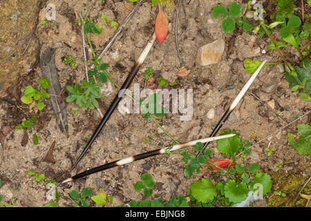 African porcupine, crested porcupine (Hystrix cristata), quills lying on the ground, Italy, Sicilia - Stock Photo