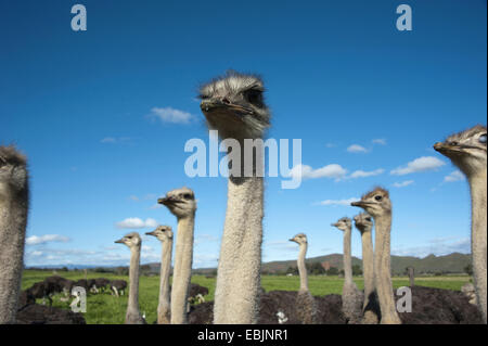 ostrich (Struthio camelus), flock of ostriches, South Africa, Western Cape, Oudtshoorn - Stock Photo
