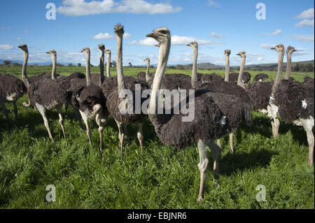 ostrich (Struthio camelus), flock of ostriches standing in meadow, South Africa, Western Cape, Oudtshoorn - Stock Photo
