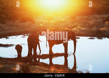 Silhouetted african elephants at waterhole, Etosha National Park, Namibia - Stock Photo