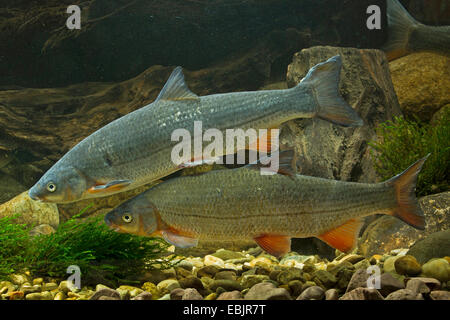nase (Chondrostoma nasus), milkner - Stock Photo