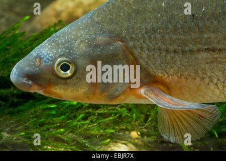 nase (Chondrostoma nasus), milkner, portrait - Stock Photo