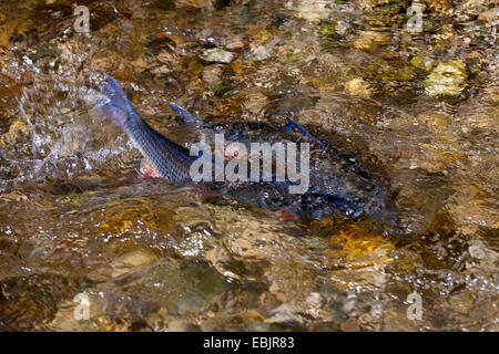 nase (Chondrostoma nasus), egg deposing, Germany, Bavaria, Nasenbach - Stock Photo