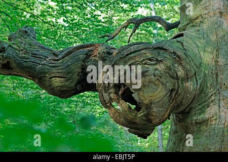 wooden face in gnarled tree trunk, Germany, Hesse, Urwald Sababurg, Reinhardswald - Stock Photo
