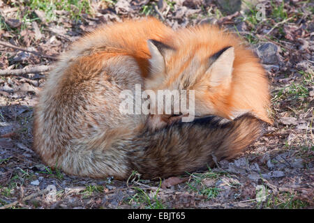 red fox (Vulpes vulpes), rolled up, Germany, Rhineland-Palatinate - Stock Photo