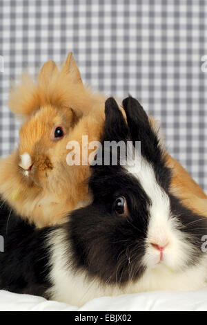 Lionhead rabbit (Oryctolagus cuniculus f. domestica), rabbit mother with her child - Stock Photo