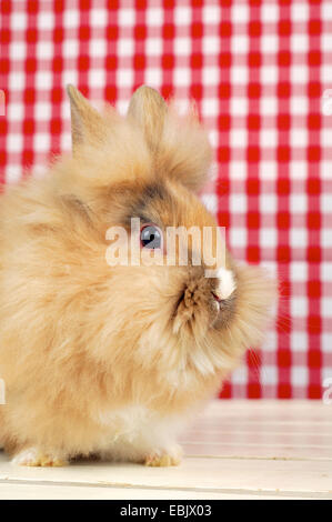 Lionhead rabbit (Oryctolagus cuniculus f. domestica), rabbit sitting in front of a red and white wallpaper - Stock Photo