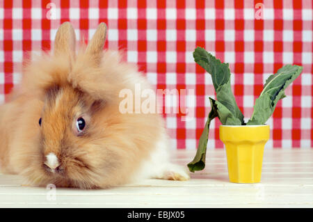 Lionhead rabbit (Oryctolagus cuniculus f. domestica), rabbit lying next to a yellow flower pot with cabbage leaves - Stock Photo