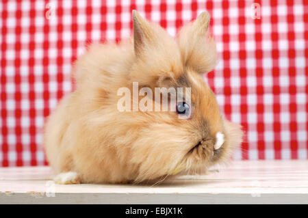 Lionhead rabbit (Oryctolagus cuniculus f. domestica), cute rabbit sitting in front of a red and white checkered - Stock Photo