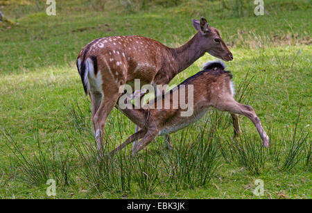 fallow deer (Dama dama, Cervus dama), female nursing, Germany - Stock Photo