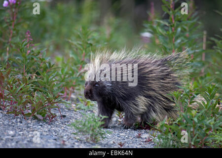 North American porcupine (Erethizon dorsatum), walking, Canada, Yukon Territory, Kluane National Park - Stock Photo