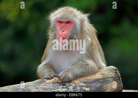 Japanese macaque, snow monkey (Macaca fuscata), leaning on a trunk - Stock Photo