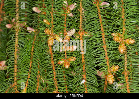 Norway spruce (Picea abies), branch with male flowers, Germany - Stock Photo