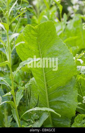 Horseradish, Horse-radish (Armoracia rusticana, Cochlearia armoracia), leaf, Germany - Stock Photo