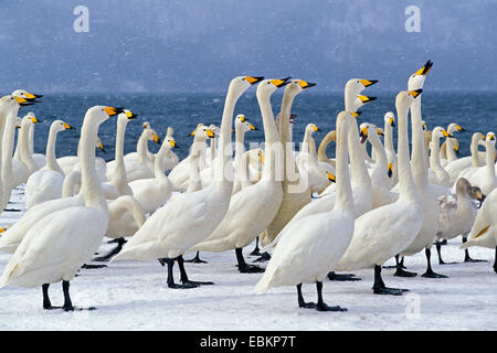 whooper swan (Cygnus cygnus), wintering, Japan, Hokkaido, Kussharo-Ko - Stock Photo