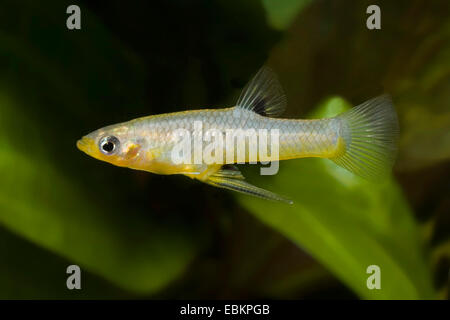 Girardinus, Metallic livebearer, Black Bellied Metallic Topminnow (Girardinus metallicus), swimming - Stock Photo