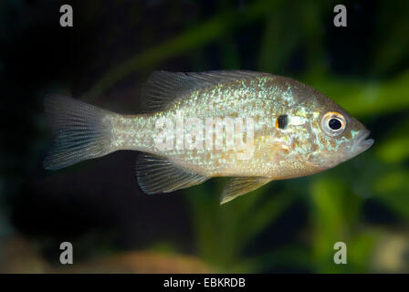pumpkin-seed sunfish, pumpkinseed (Lepomis gibbosus), full length portrait - Stock Photo