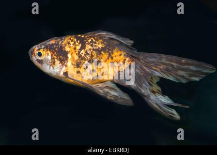 goldfish, common carp (Carassius auratus), breeding form Fringtail calico - Stock Photo