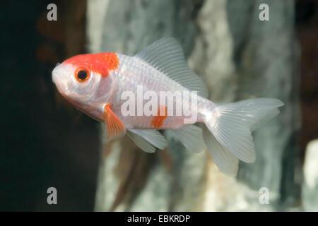 goldfish, common carp (Carassius auratus), breed Sarasa-doubletail - Stock Photo