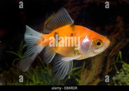 goldfish, common carp (Carassius auratus), breed Calico-Veiltail - Stock Photo