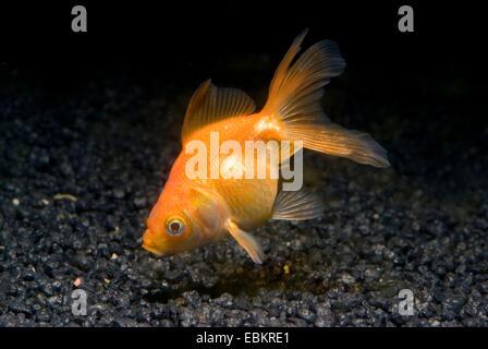 Goldfish, Common carp (Carassius auratus), breeding form red veiltail Ryukin - Stock Photo