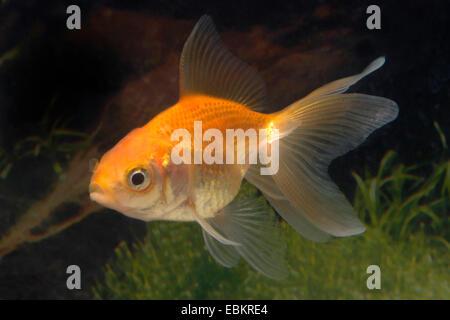 Goldfish, Common carp (Carassius auratus), breeding form red veiltail - Stock Photo