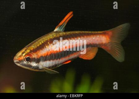 Coral Red Pencilfish (Nannostomus mortenthaleri), swimming - Stock Photo
