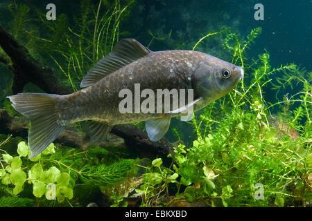 Gibel carp, Prussian carp, German carp, Crucian carp (Carassius auratus gibelio), principal form of goldfish, swimming - Stock Photo