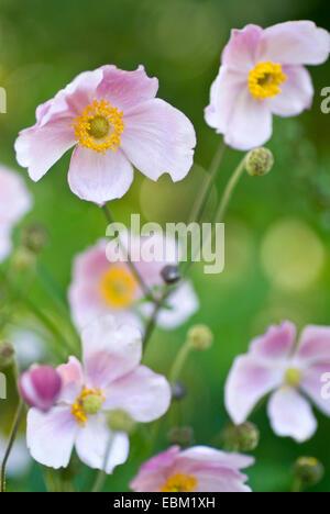 Japanese anemone, Japanese Windflower (Anemone japonica, Anemone hupehensis var. japonica), flowers - Stock Photo