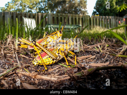 Close-up side view of two eastern Lubber Grasshoppers mating on the ground in a Florida backyard with lawn table, - Stock Photo