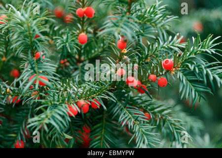 Common yew, English yew, European yew (Taxus baccata), with mature seeds - Stock Photo