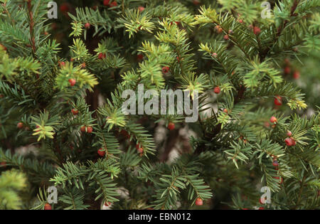western yew, pacific yew (Taxus brevifolia), branches with seeds, is used against cancer - Stock Photo