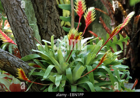 Vriesea (Vriesea carinata), blooming - Stock Photo