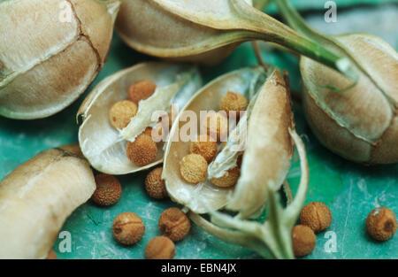 Peruvian lily, Golden lily-of-the-Incas, Golden Lily of the Incas (Alstroemeria aurea), fruits - Stock Photo