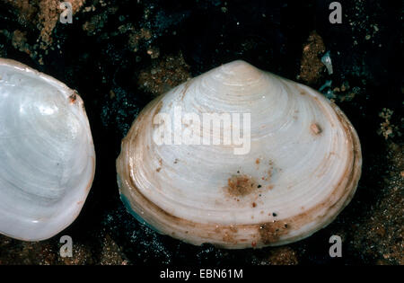 Peppery furrow clam, Peppery furrow shell (Scrobicularia plana), shells on moist ground - Stock Photo