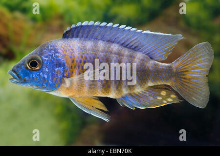Red-shoulder Malawi peacock cichlid, Aulonocara Fort Maguire (Aulonocara hansbaenschi), breed Chiloelo - Stock Photo