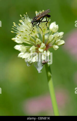 Long-rooted garlic, Victory Onion (Allium victorialis), inflorescence with pollinators, Germany - Stock Photo
