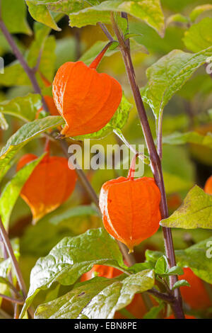 Chinese lantern, Japanese lantern, winter cherry, strawberry tomato (Physalis alkekengi), fruits - Stock Photo