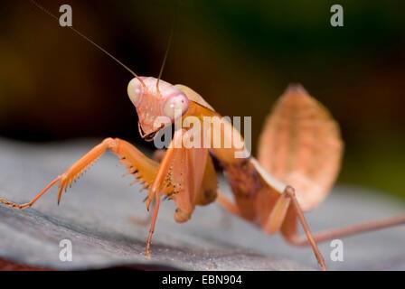Giant Malaysian shield praying mantis (Rhombodera basalis), sitting on a leaf - Stock Photo