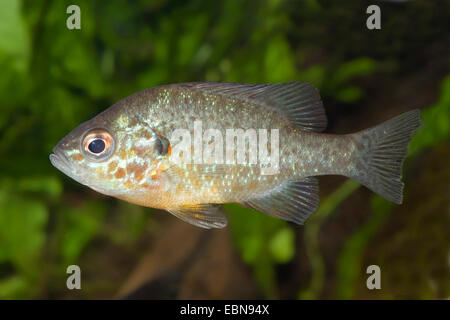 pumpkin-seed sunfish, pumpkinseed (Lepomis gibbosus), swimming - Stock Photo