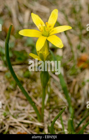 Yellow Gagea (Gagea fistulosa), bloomng, Switzerland, Winterluecke/ - Stock Photo