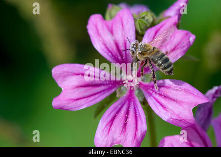 common mallow, blue mallow, high mallow, high cheeseweed (Malva sylvestris), flower with bee with pollen, Germany - Stock Photo